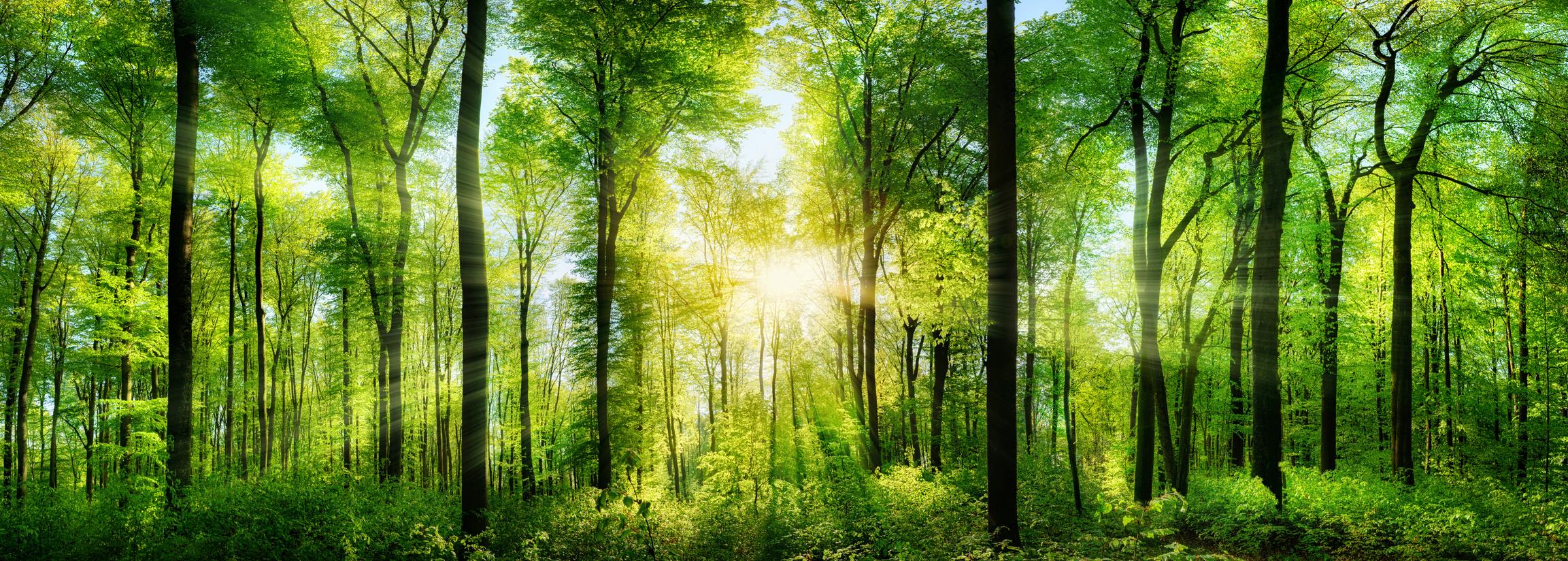 Wald Panorama mit Sonnenstrahlen